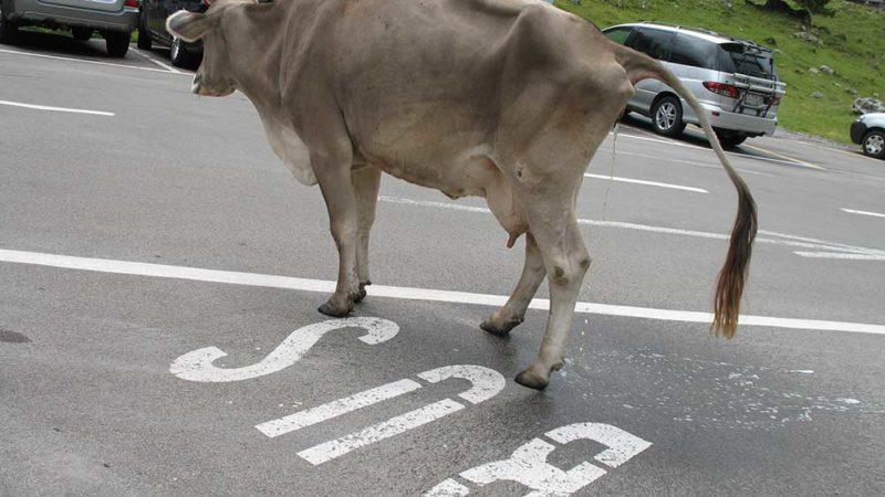 Die Milchkuh-Intiative ist eine Beleidigung für jedes anständige Rindvieh. | © 2012 Dominik Thali