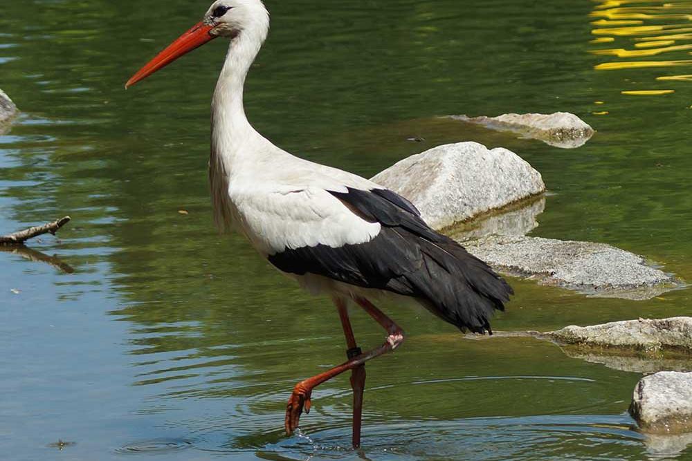 Beinkleider für radfahrende Störche sind kaum erhältlich. Drum steht dieser hier auch nacktbeinig im Wasser. | © flickr.com/kbregulla