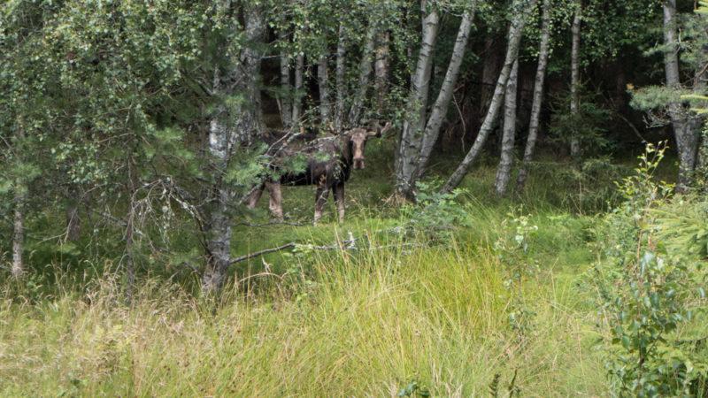 Auf Augenhöhe: der beobachtete Elch an einer Hauptstrasse durch die südschwedische Insel Tjörn. | © 2016 Dominik Thali